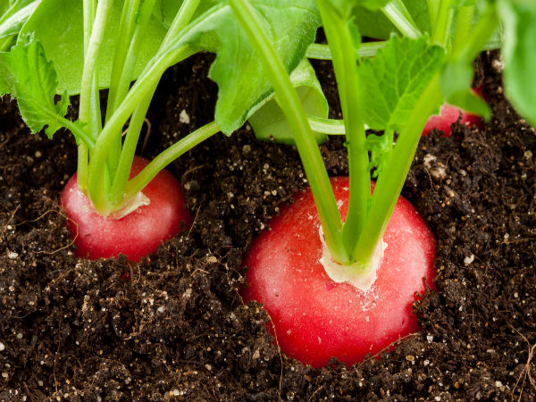 Best tips to grow radish in containers - Salads can grow pots eat fresh ...