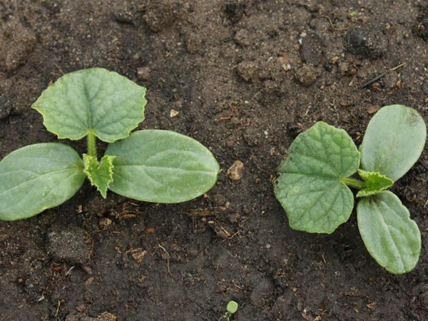 Planting Cucumber Seeds In Containers Tips Boldsky Com