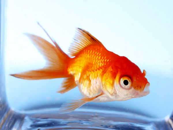 Looking after a goldfish pond tips for Goldfish pond care