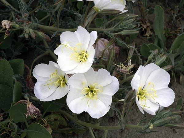 10 night blooming flowers that are white boldsky evening primrose mightylinksfo