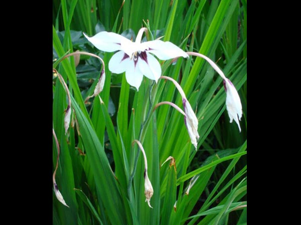 10 night blooming flowers that are white boldsky night galdiolus galdiolus are usually flowers that bloom mightylinksfo