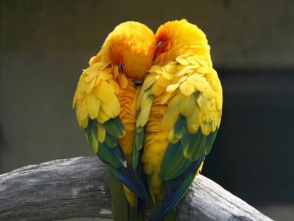 common health problems of love birds   boldsky