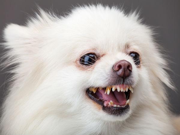 Maintenance Tips For A Pomeranian Boldsky Com