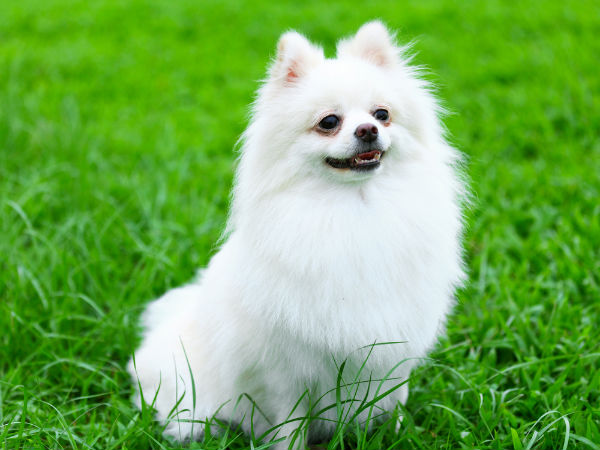 Maintenance tips for a pomeranian boldsky one very distinct feature of this breed is the pomeranian fur a soft and fluffy undercoat and a straight and shiny top coat with so much fur altavistaventures Images