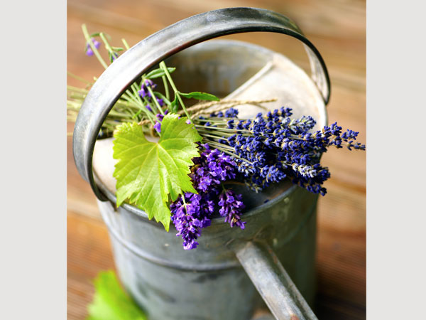 how to grow sea lavender from cuttings