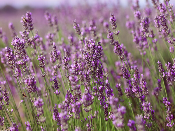 how to grow lavender from cuttings. Black Bedroom Furniture Sets. Home Design Ideas