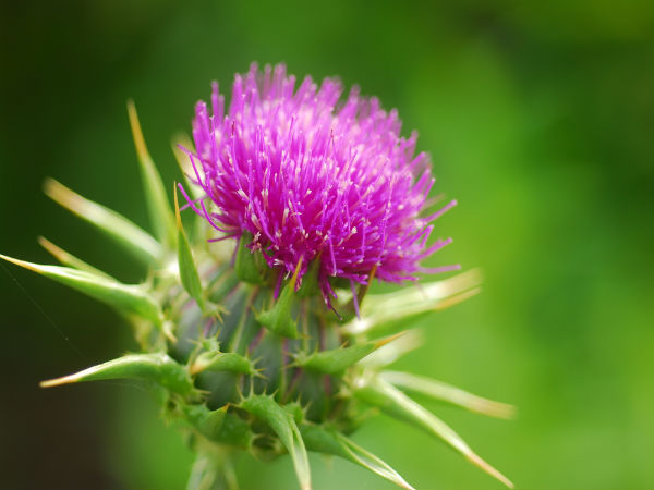 Image result for How Milk Thistle Extracts Assist In Improving Liver Health