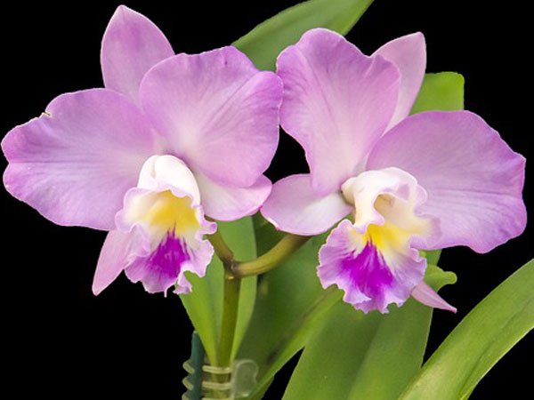 Care of Cattleya Orchids Orchid Plants Care