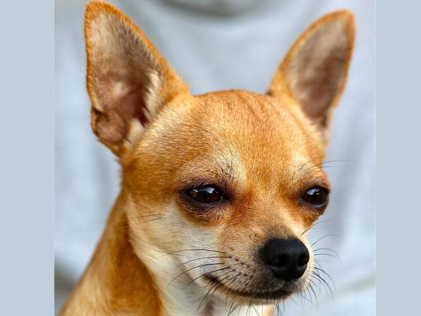 10 Longest Living Dog Breeds Boldsky Com