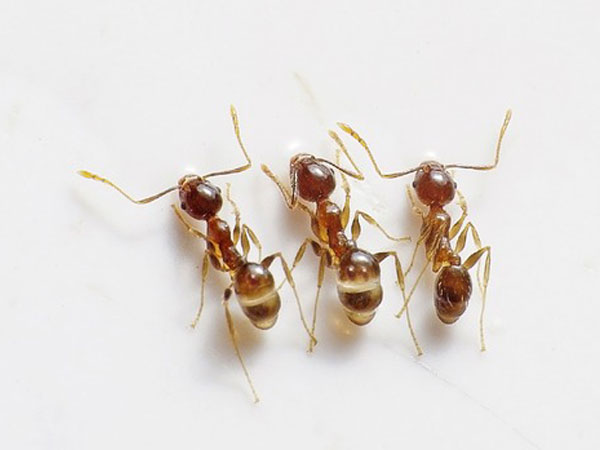 Ways To Get Rid Of White Ants
