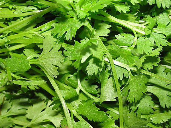Communication on this topic: Parsley Tea Benefits and Side Effects, parsley-tea-benefits-and-side-effects/