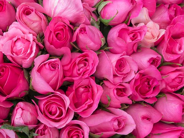 Valentine rose colours their meaning boldsky pink rose mightylinksfo