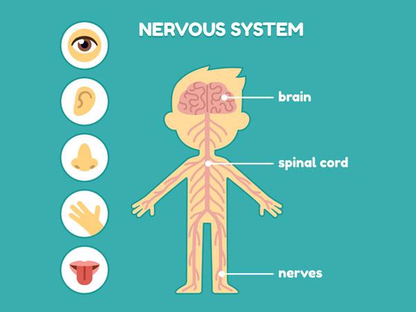 Foods Good For Nervous System
