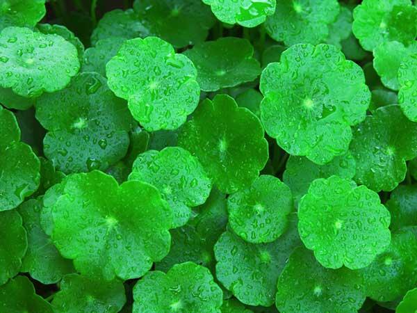 Amazing Health Benefits Of Gotu Kola Leaf Boldsky Com