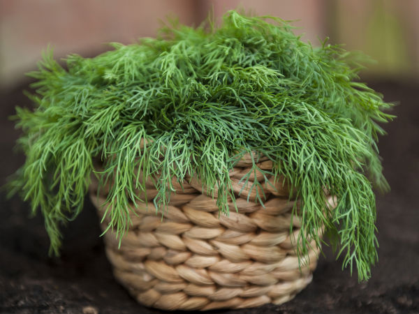 Why You Should Include Dill In Your Diet5