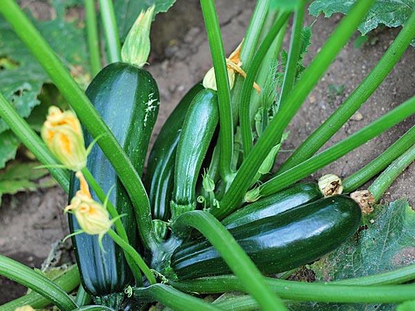 Best summer vegetables to grow in your kitchen garden for Plants to grow in garden