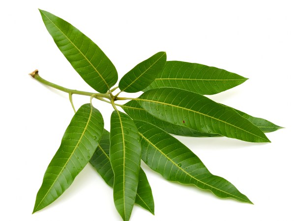 These 10 Medicinal Properties Of Mango Leaves Will Amaze