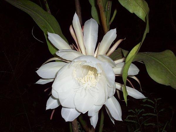 Image result for brahma kamal