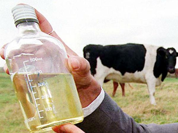 Image result for cow urine drink