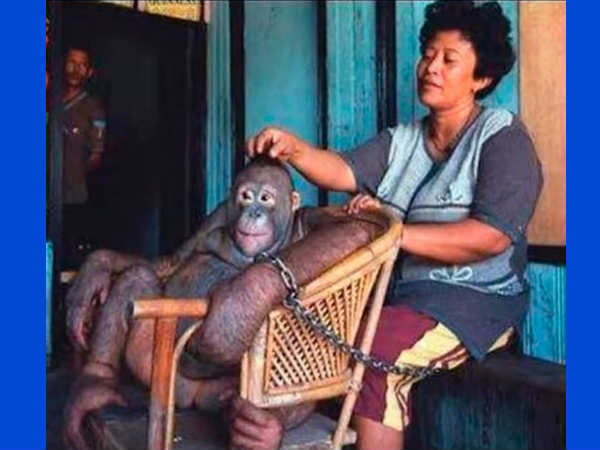 The Story Of An Orangutan Who Was Used As A Sex Slave!