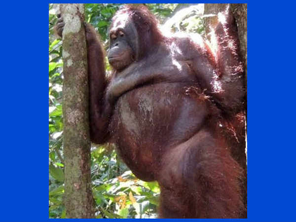 Orangutang sex slave