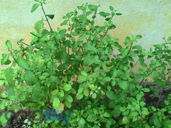 health benefits of tulsi