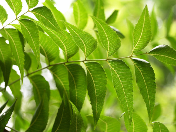 health benefits of neem water