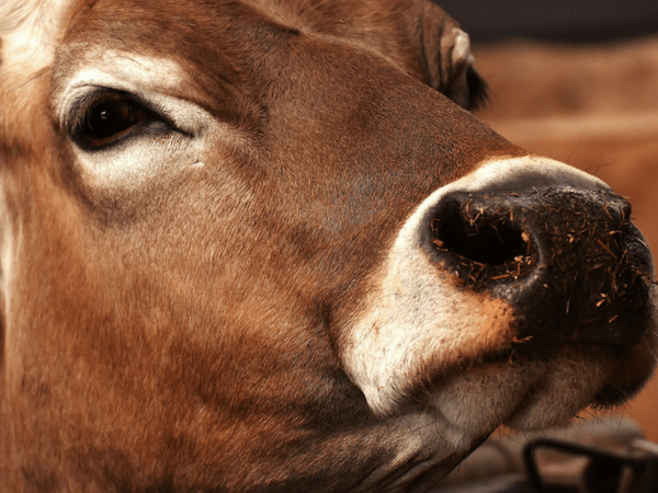 cow urine can cure cancer