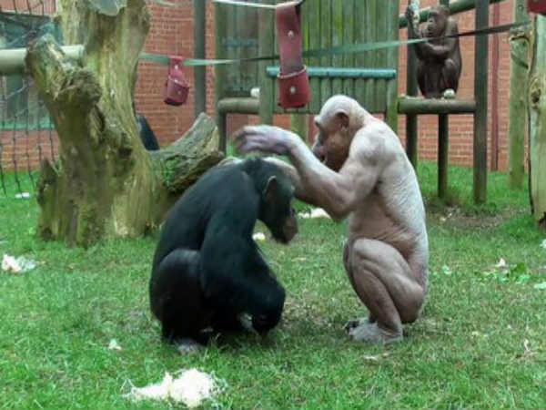 Crazy Video Of Hairless Chimpanzees Fighting