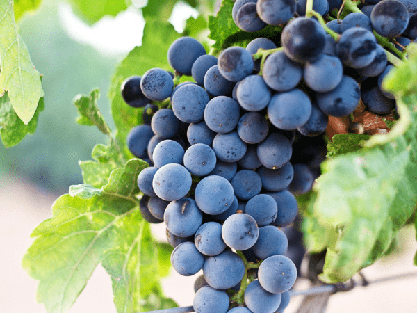 concord grapes benefits
