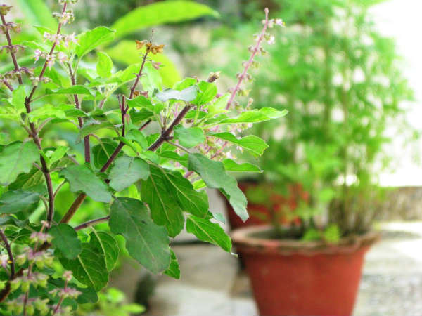 Astonishing Benefits Of Tulsi For Skin & Hair