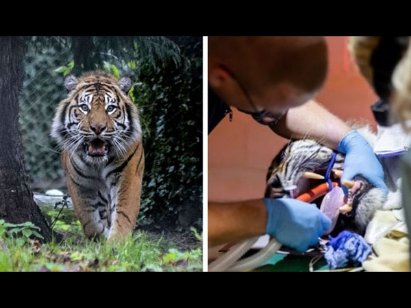 tiger undergoing root canal