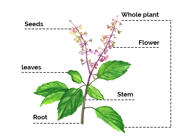From Reducing Stress To Fighting Cancer, Tulsi Has Powerful