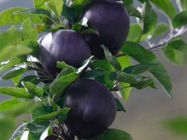 Everything About Black Diamond Apples