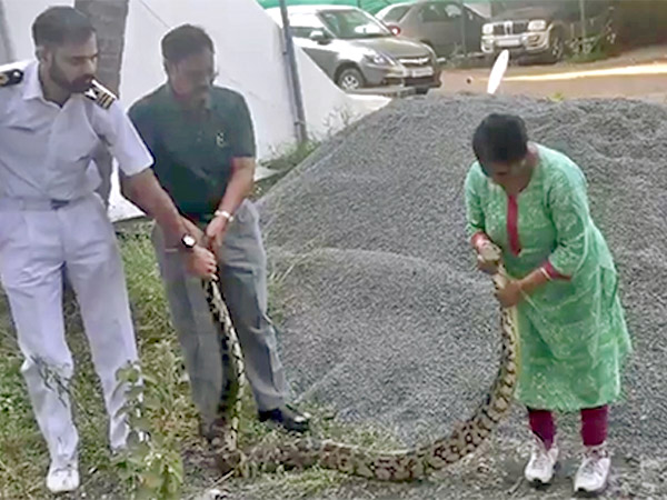The Navy Officer's Wife Vidya Raju Rescues 20 Kg Python, Video Goes Viral