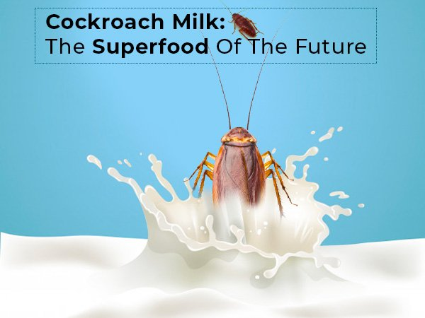 Cockroach Milk: The Superfood Of The Future