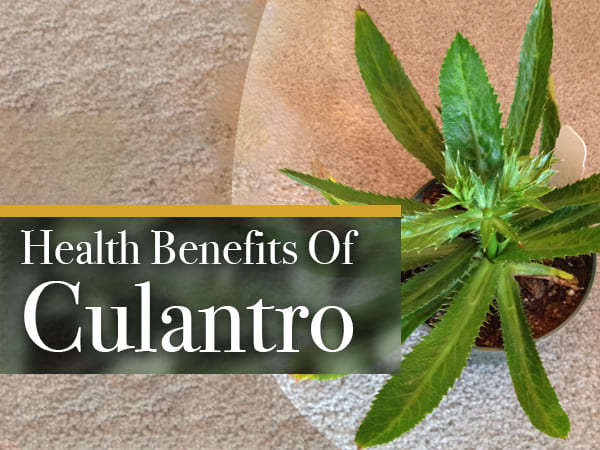 What Is Culantro? Health Benefits, Side Effects And Recipes