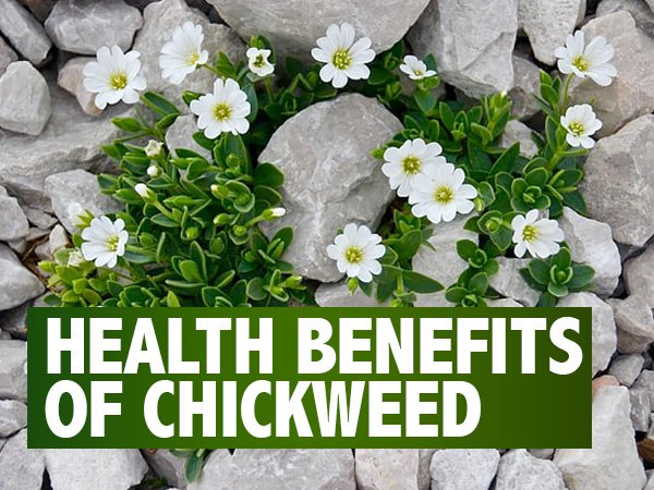 Chickweed: Health Benefits, Side Effects And Ways To Use