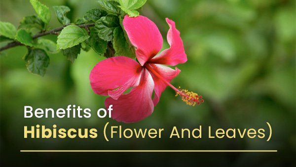 Evidence-Based Health Benefits Of Hibiscus Flower And Leaves