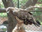 Eagle Tetu Zoo Stories