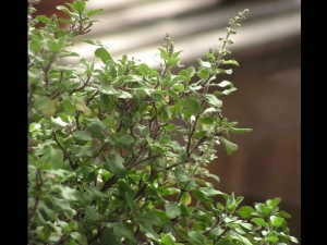 Curative Uses Of Tulsi In Ayurveda