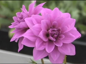 Best Tips To Grow Dahlias In Your Garden