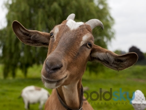 Nutritional Benefits Of Goat Meat Or Mutton