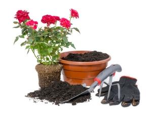 Eight Natural Fertilisers For Rose Soil 082958