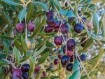 Tips To Grow Olives In Your Garden
