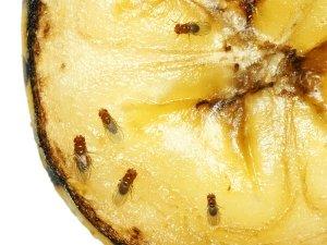 Home Ingredients To Get Rid Of Fruit Flies
