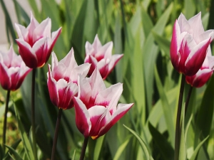Gardening Tips For Tulip Flowers