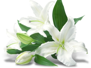 Steps To Plant Lilies In Your Garden