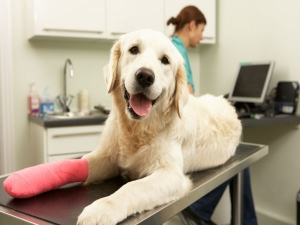 Simple Pet Care Tips For An Injured Dog 058394