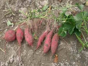How To Grow Sweet Potatoes In Your Garden 064408